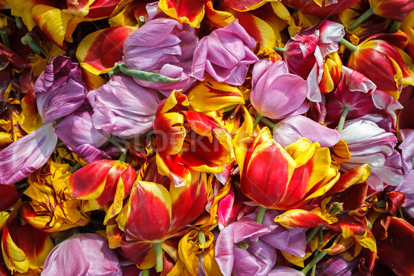 background cut wilted tulips Stock photo © fogen