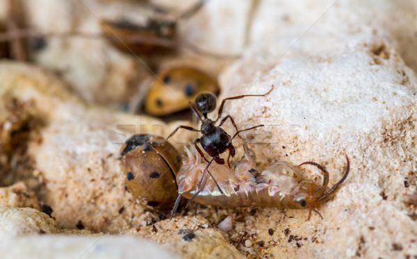 çalışma karınca güçlü siyah ölü Stok fotoğraf © fogen