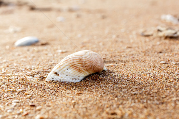 Deniz kabuk kum kabukları sahil Stok fotoğraf © fogen