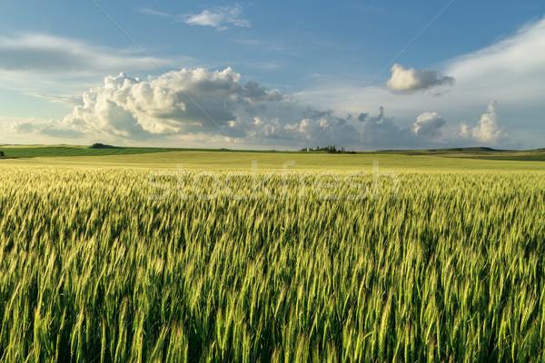Alan yeşil buğday panorama mavi gökyüzü bulutlar Stok fotoğraf © fogen