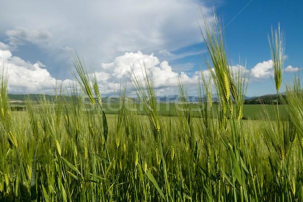 ушки зрелый пшеницы небе лет Сток-фото © fogen