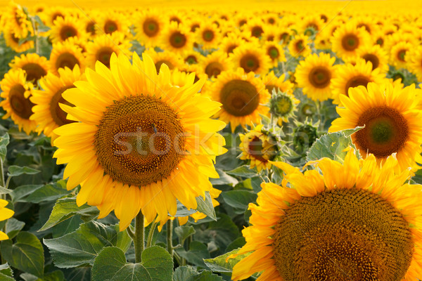 Sunflower field, backlit. Stock photo © fogen
