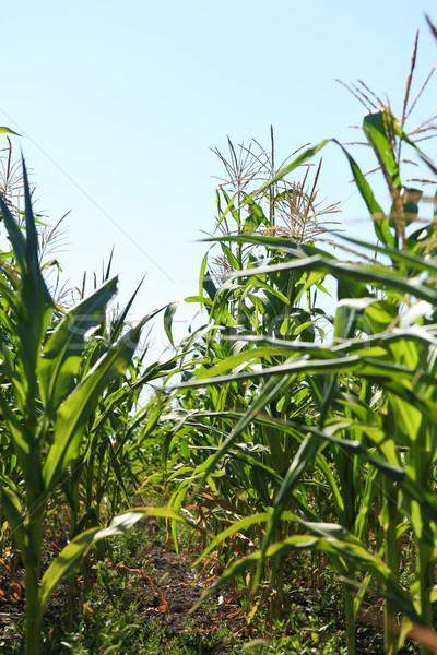 Kukoricamező kukorica mező égbolt levél zöld Stock fotó © fogen