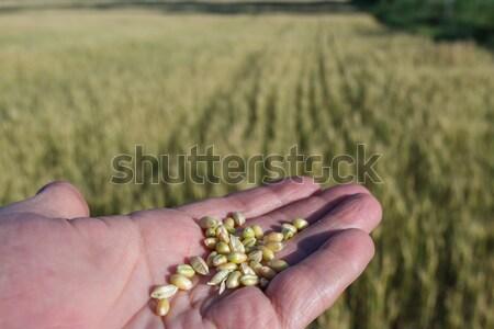 Agronomist is holding grain Stock photo © fogen