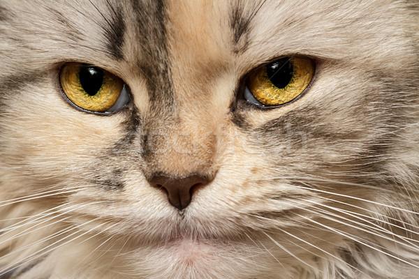 Cat three-color close-up Stock photo © fogen