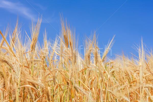 время урожай ушки пшеницы небе Сток-фото © fogen