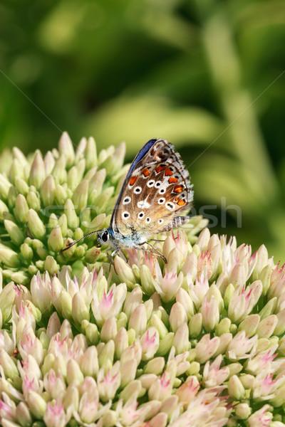 Vlinder bloei plant veelkleurig planten drinken Stockfoto © fogen