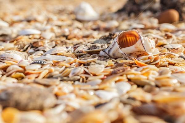 Old shell Rapana  Stock photo © fogen