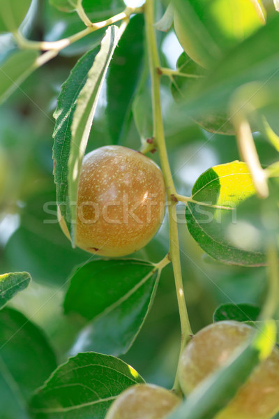 Ziziphus jujuba. Ripe fruit Jujube closeup Stock photo © fogen