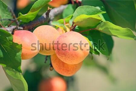 Kayısı olgun ağaç gıda meyve yaz Stok fotoğraf © fogen