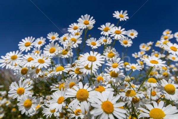 Ромашки Blue Sky небе трава лист Сток-фото © fogen