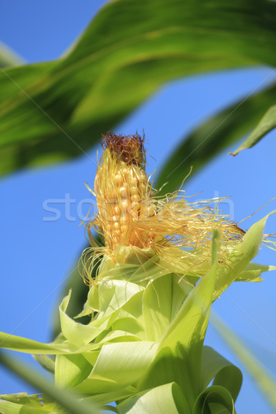 Oor mais blad groene boerderij goud Stockfoto © fogen