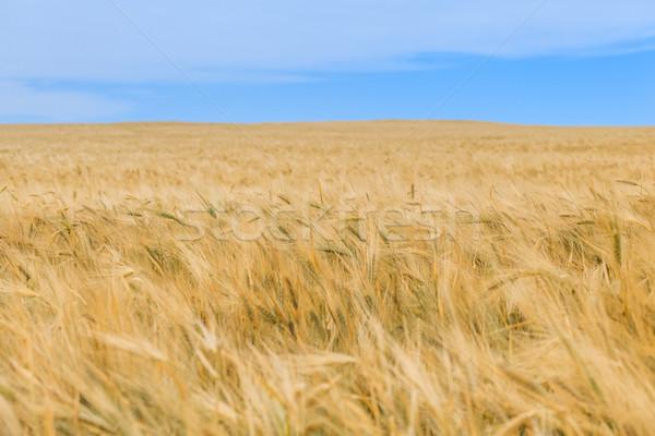 Blauwe hemel gras zomer veld Blauw Stockfoto © fogen
