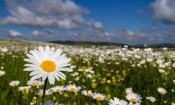 Daisies closeup on blue sky background. Stock photo © fogen