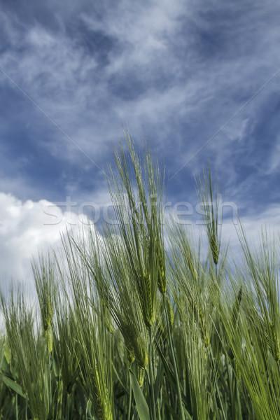 Tarwe hemel oren Blauw bewolkt voedsel Stockfoto © fogen