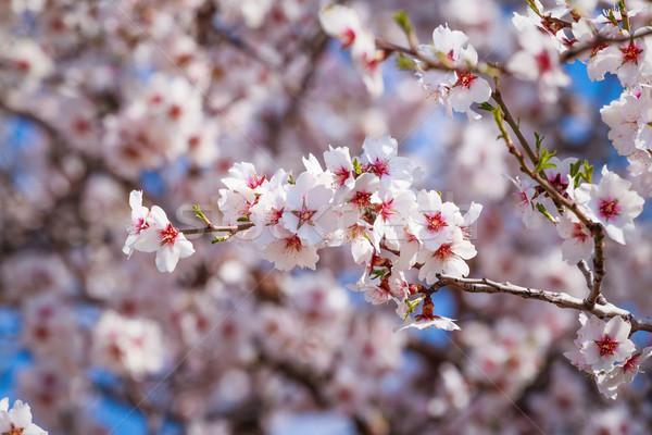 Bloei abrikoos boom roze bloemen Stockfoto © fogen