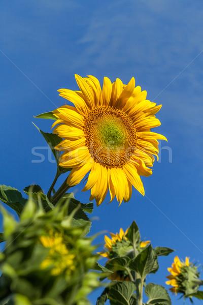 Zonnebloem bloem blauwe hemel natuur blad Stockfoto © fogen