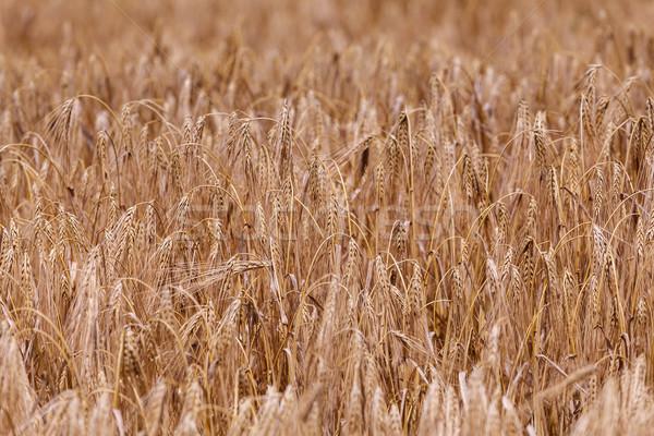 Oren rijp tarwe veld brood Stockfoto © fogen