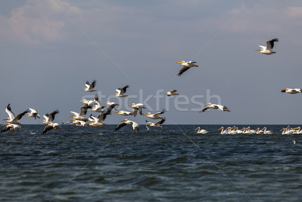 soaring flock of pink pelicans Stock photo © fogen