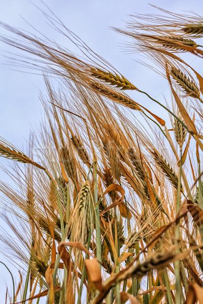 ушки пшеницы небе трава лет Сток-фото © fogen