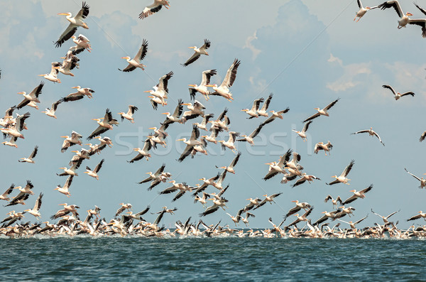 flock of pink pelicans Stock photo © fogen