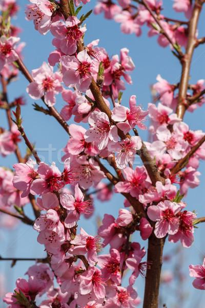 Florescimento pêssego flores blue sky árvore Foto stock © fogen