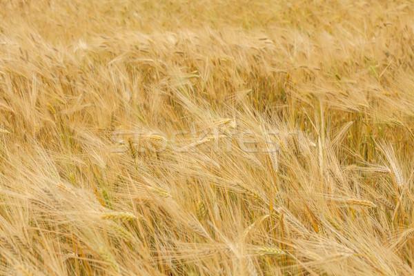Tarwe zomer brood industrie wolk Stockfoto © fogen
