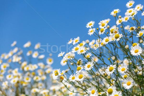 Daisies Stock photo © fogen