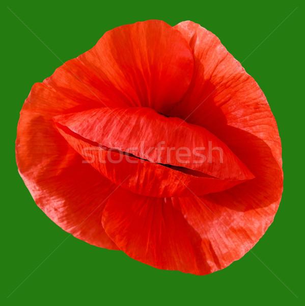 красный мак зеленый цветок Сток-фото © fogen
