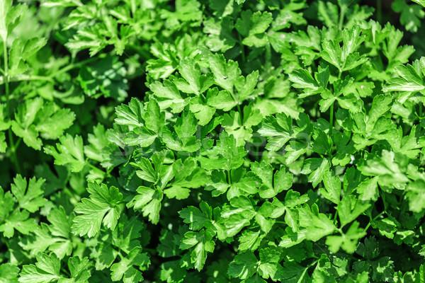 Sebze yatak maydanoz taze yeşil Stok fotoğraf © fogen