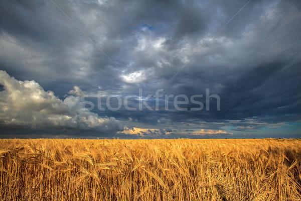 лет Storm области зрелый пшеницы бурный Сток-фото © fogen
