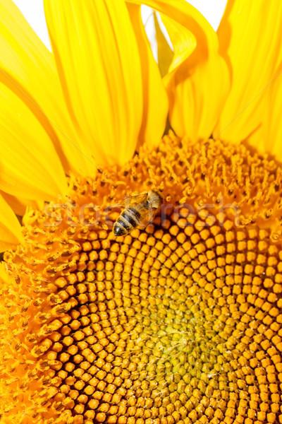Háziméh napraforgó méh virág közelkép természetes Stock fotó © fogen