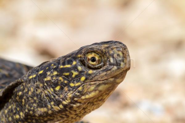 Kaplumbağa kafa dışarı kabuk doğa Stok fotoğraf © fogen