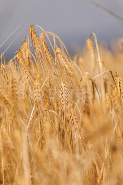 Kulaklar olgun buğday mavi gökyüzü yaz Stok fotoğraf © fogen