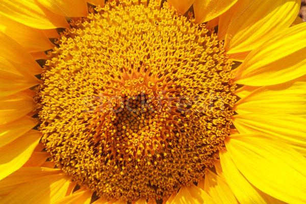 çiçek ayçiçeği seyahat sonbahar altın Stok fotoğraf © fogen
