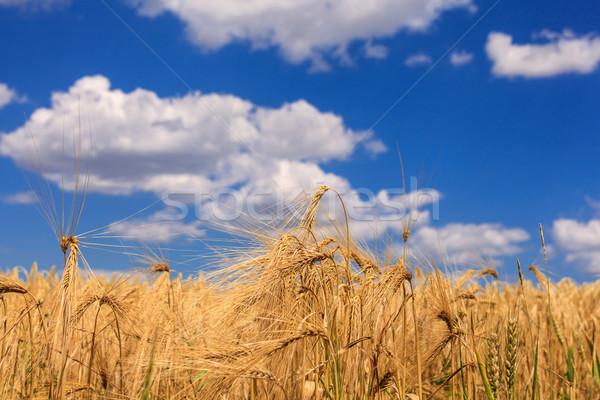 зрелый пшеницы Blue Sky облака трава лет Сток-фото © fogen