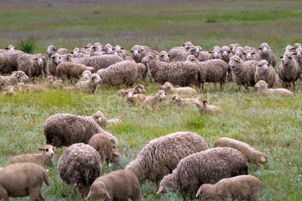 Sheep grazing on grass land Stock photo © fogen