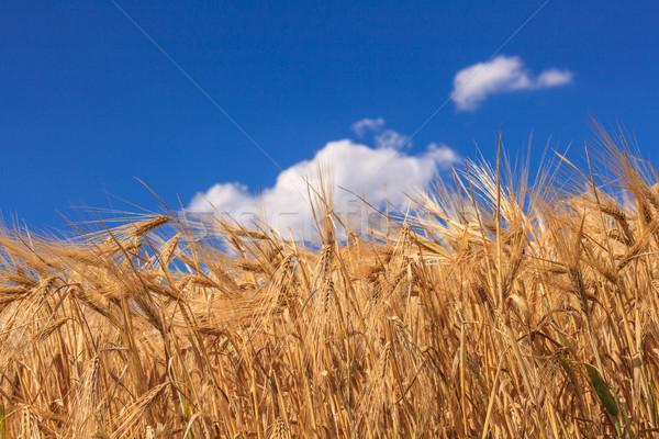 зрелый пшеницы Blue Sky облака трава Сток-фото © fogen