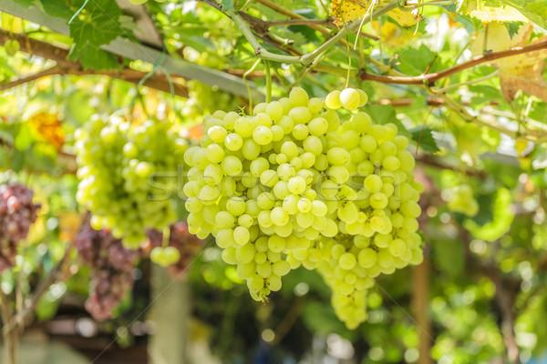 белый виноград Солнечный небе свет Сток-фото © fogen