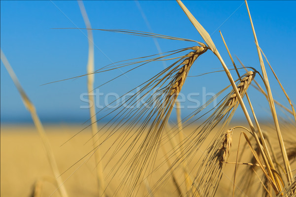 Ears of wheat against the sky  Stock photo © fogen