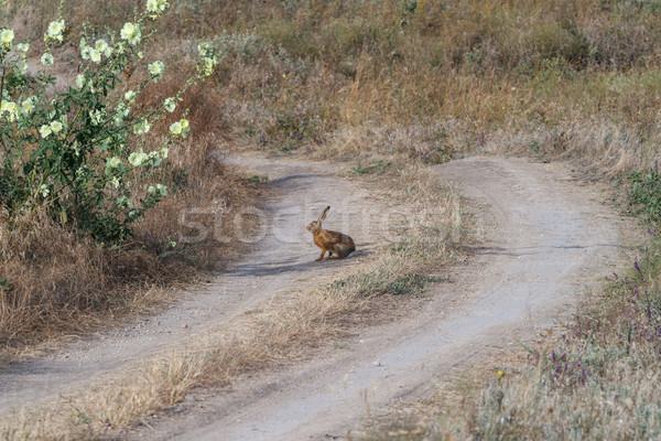Hare on steppe road Stock photo © fogen