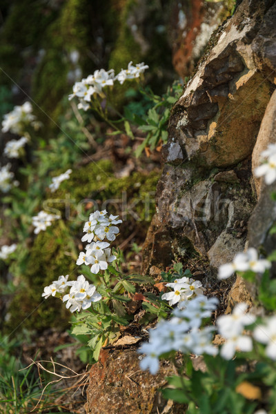 White flowers on a rocky slope, close-up Stock photo © fogen