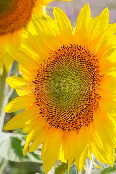 Zonnebloem bloem reizen najaar goud Stockfoto © fogen