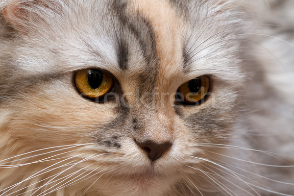 Macska közelkép portré házimacska zöld fej Stock fotó © fogen