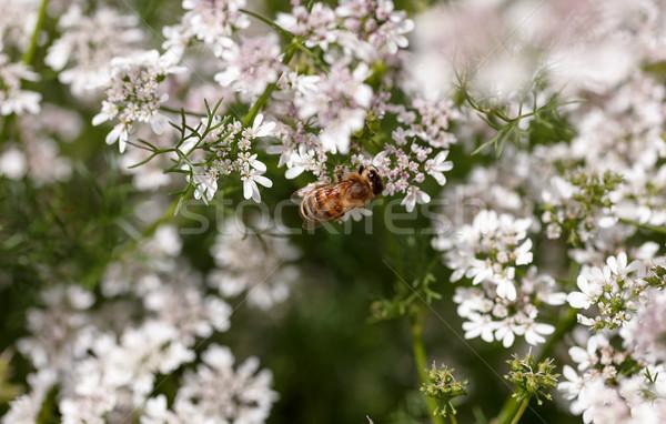 Bloei koriander veld bijen Stockfoto © fogen