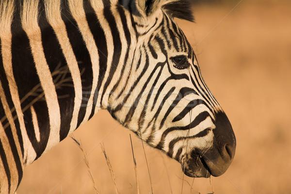 Zebra #10 Stock photo © Forgiss