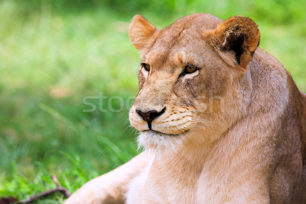 Young Lioness lying down in the grass Stock photo © Forgiss