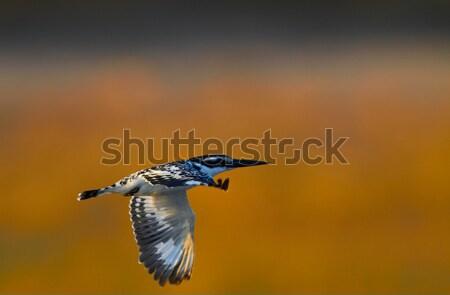 Flying Giant Kingfisher Stock photo © Forgiss