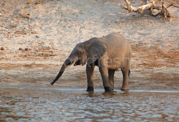 African Elephant Stock photo © Forgiss