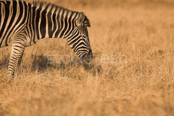 Zebra #6 Stock photo © Forgiss